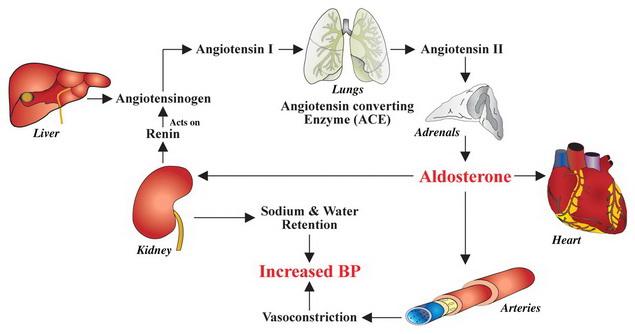 magas vérnyomás és mechanizmusai hátfájás magas vérnyomás