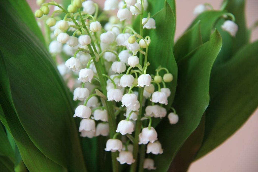 Hej gyöngyvirág, gyöngyvirág   citeratabor.hu