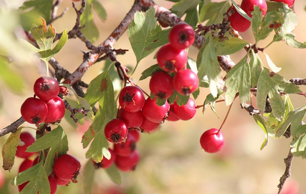 galagonya gyümölcs magas vérnyomás ellen magas vérnyomás diéta és kezelés